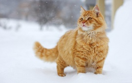 Snowy Yellow Cat