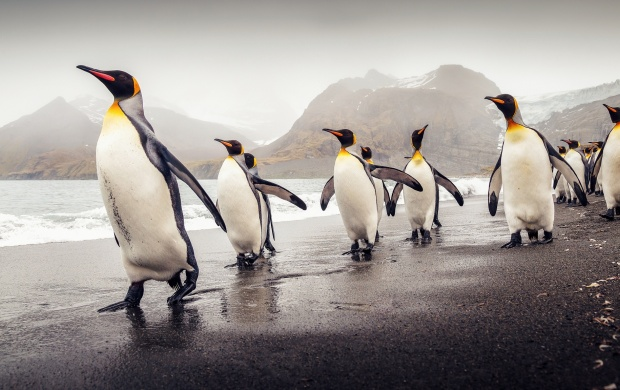 South Georgia King Penguins (click to view)