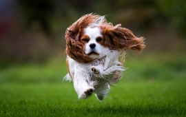 Spaniel Dog Runs On Grass