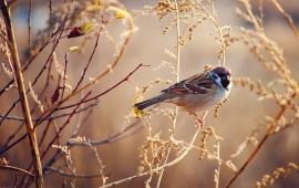 Sparrow Bird Dry Grass