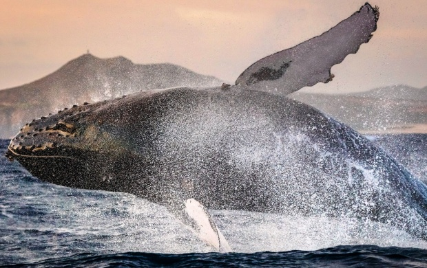 Sperm Whales Jumping (click to view)