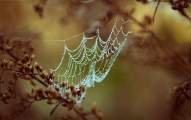 Spider Web In Dew Drops