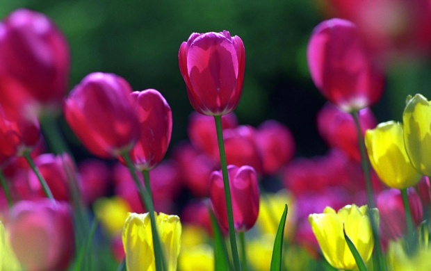 Spring Tulips (click to view)