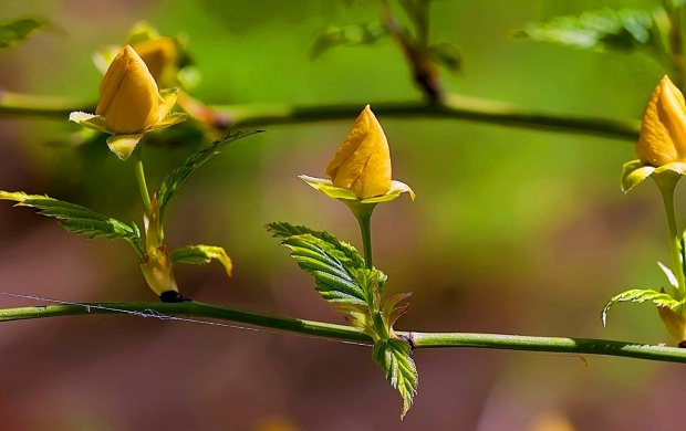 Spring Yellow Rose Flowers (click to view)