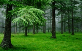 Spruce Trees Green Forest