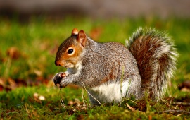 Squirrel Nutlet