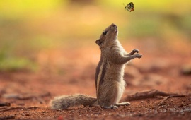 Squirrel Watching Butterfly