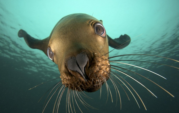 Steller Sea Lion (click to view)