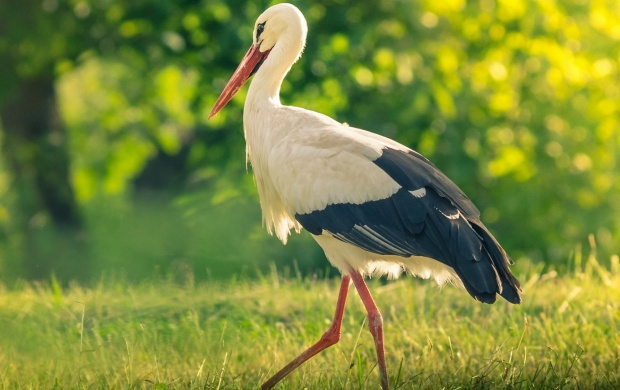 Storks Bird Summer (click to view)