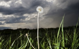 Storm Coming on Dandelion