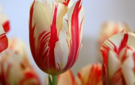 Striped Tulip