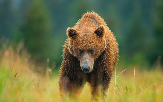 Summer Bear (click to view)