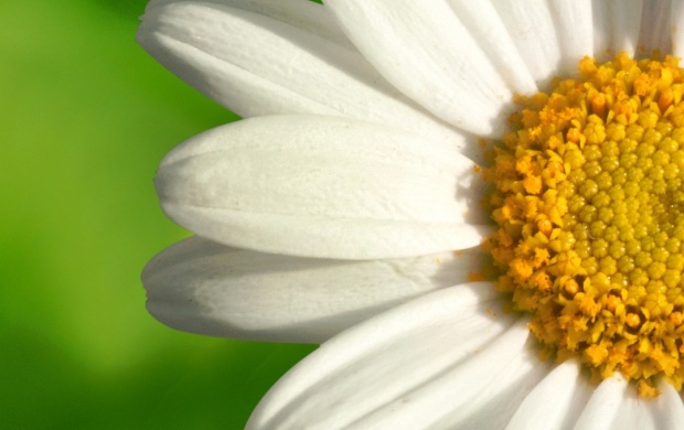 Summer Chamomile Flower (click to view)