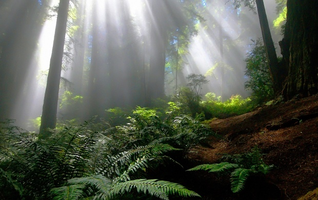Sun Rays in the Forest (click to view)