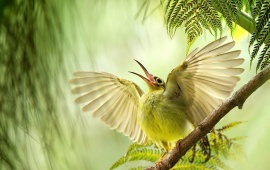 Sunbird Open Wings And Beak