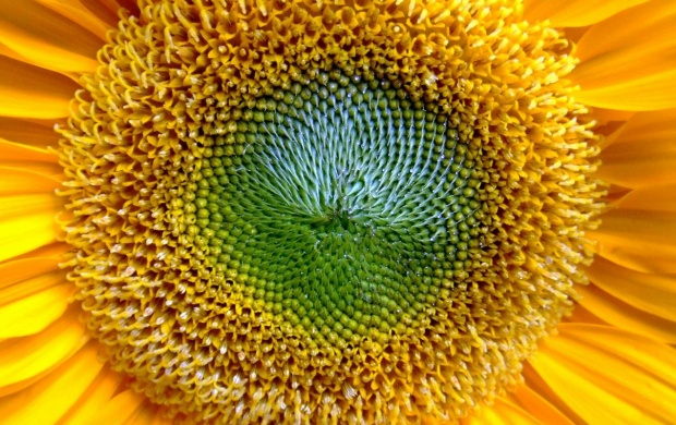 Sunflower (click to view)
