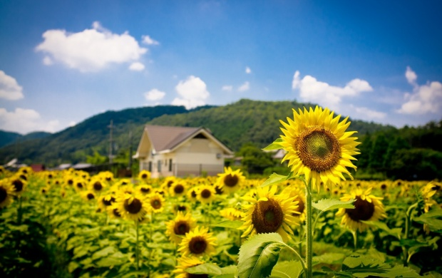Sunflower Field (click to view)
