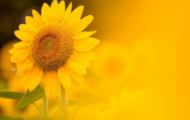 Sunflower Yellow Background