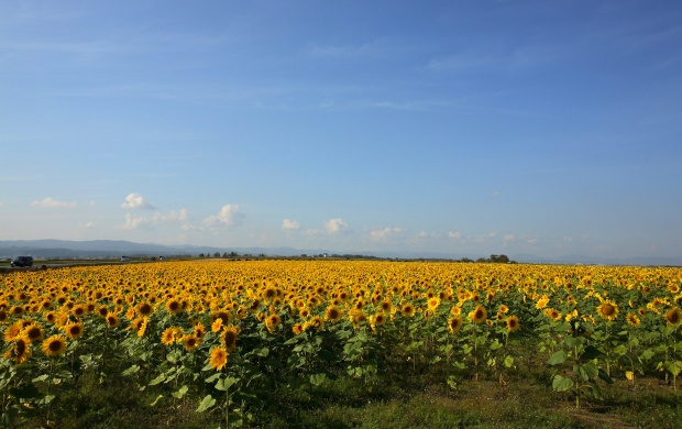Sunflowers Farm (click to view)
