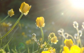Sunlight In Yellow Flowers