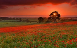 Sunset And Poppies Flowers Field