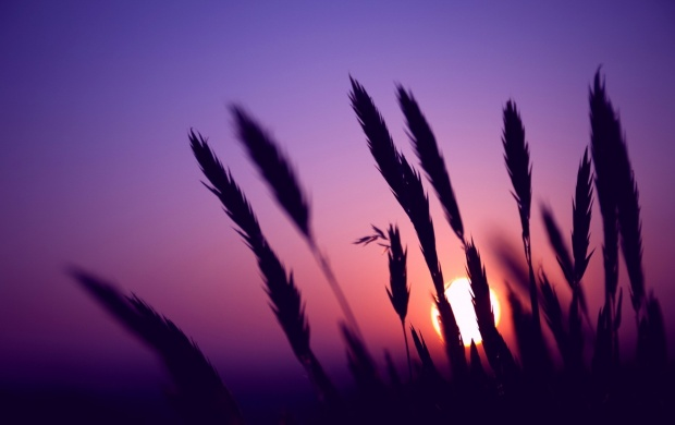 Sunset Evening Wheat (click to view)