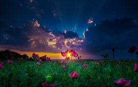 Sunset Over Flower Field