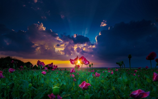Sunset Over Flower Field (click to view)