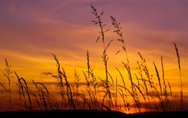 Sunset Sky And Barley Grass