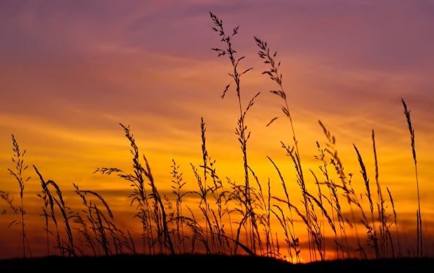 Sunset Sky And Barley Grass (click to view)