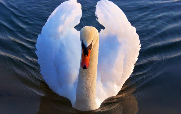 Swan On Blue Water (click to view)