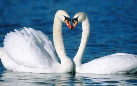Swans Couple In Water