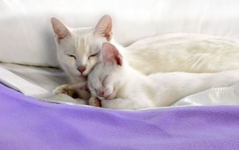 Sweet Cat Couple On Blanket