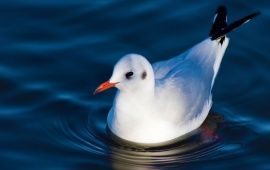 Swimming Black Headed Gull