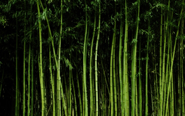 Tall Bamboo Trees (click to view)