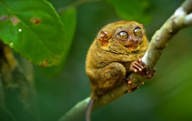 Tarsier Sitting At Branch