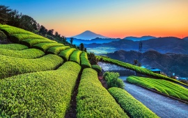 Tea Plants On A Hill