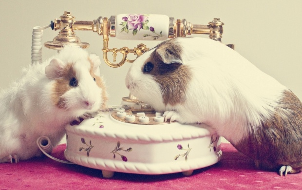 The Guinea Pigs (click to view)