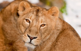 The Killer Look Of The Lioness