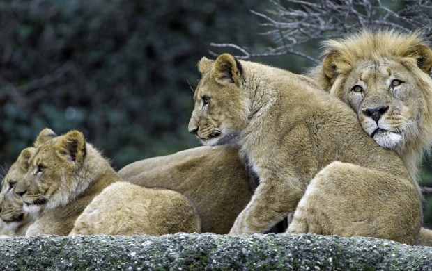 The Three Cubs With Dad (click to view)