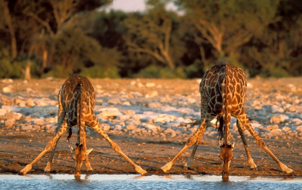 Thirsty Giraffes (click to view)