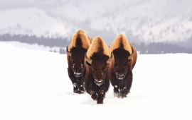 Three Bison Buffalo