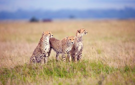Three Cheetahs In The Grass