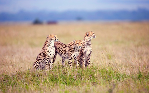 Three Cheetahs In The Grass (click to view)