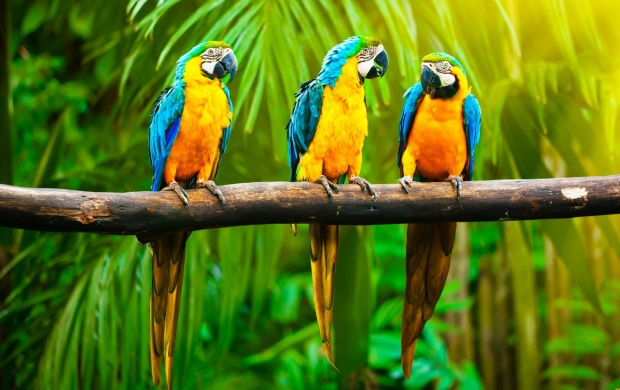 Three Parrots On Branch (click to view)