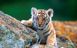 Tiger Cub Red Rocks