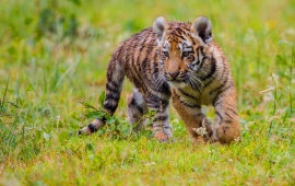 Tiger Cubs Green Grass