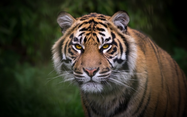 Tiger Face And Eyes (click to view)