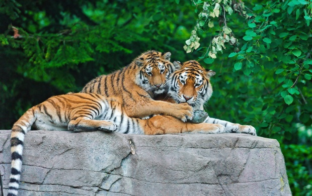 Tiger Family On Stone (click to view)