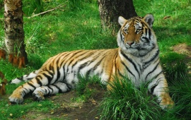 Tiger Having Rest